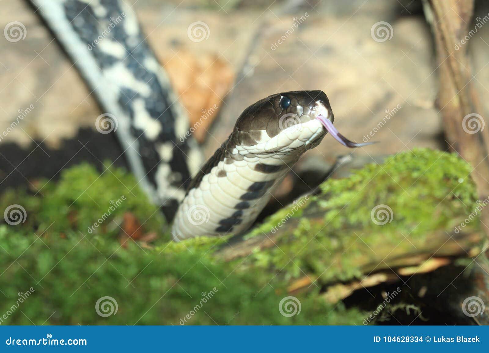 Download Spuwencobra Tussen Indië En China Stock Foto - Afbeelding bestaande uit dier, aziatisch: 104628334