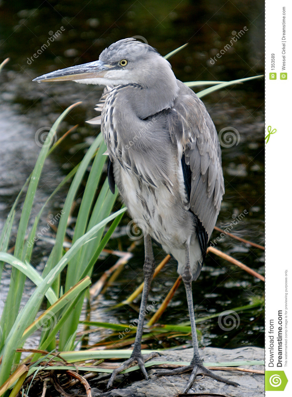 A spying grey heron near water