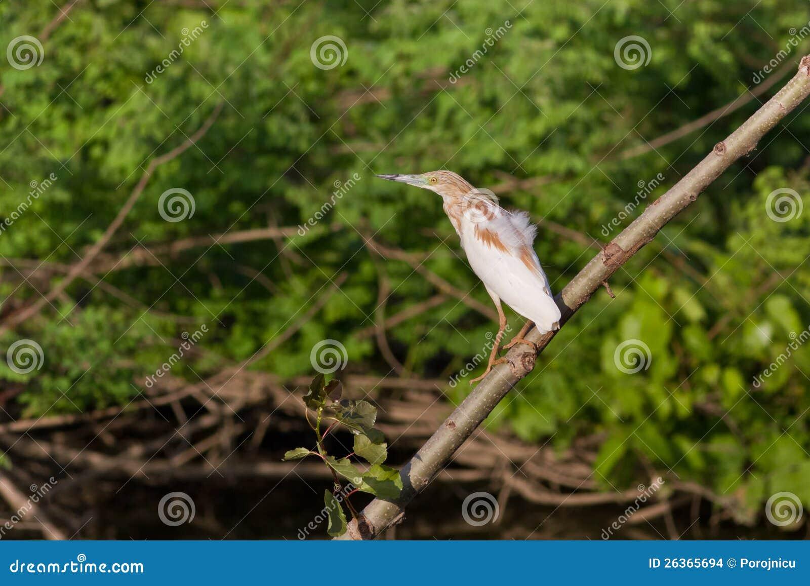Squacco Reiher (Ardeola ralloides)