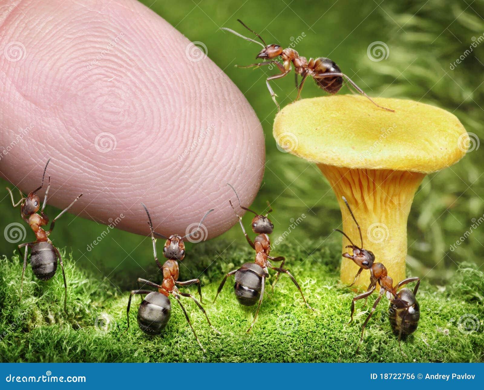 Squadra di formiche che custodicono galletto dall essere umano
