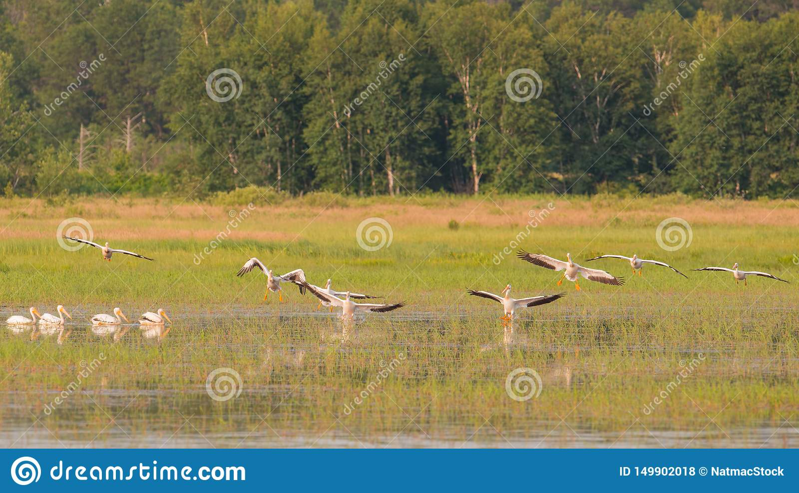 Squadron of American white pelicans flying during the summer in the Crex Meadows Wildlife Area - mainly wetlands area