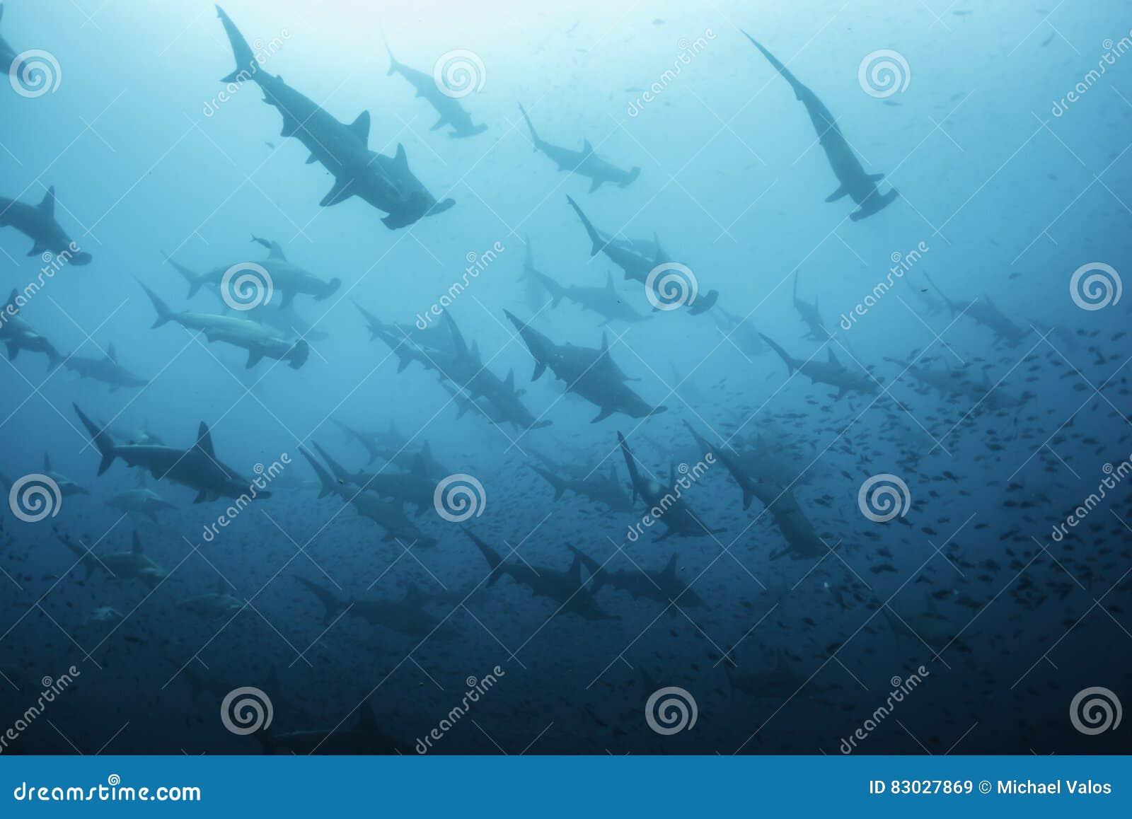 Squali Di Pesce Martello Immagine Stock Immagine Di Diving 83027869