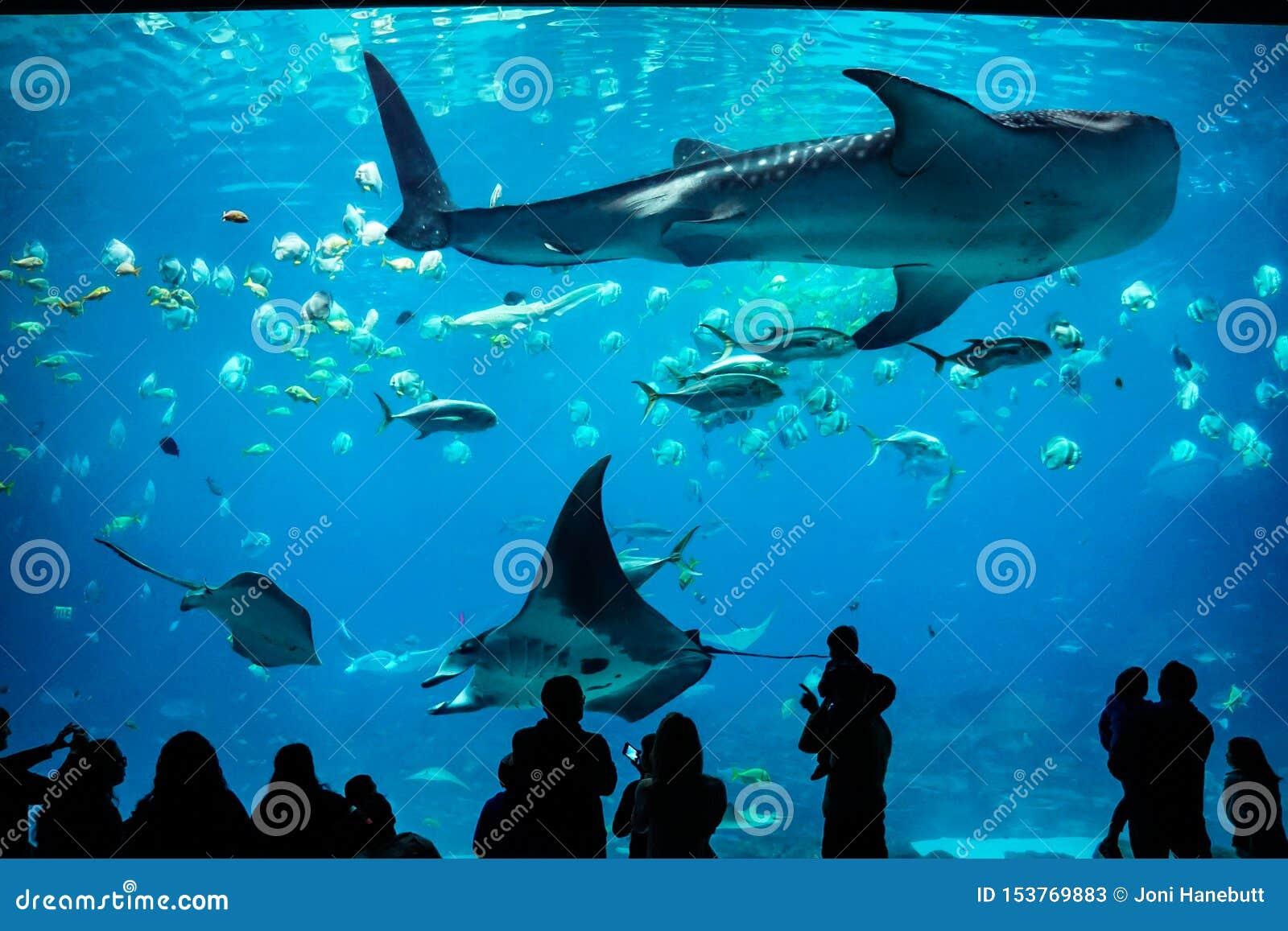 Squalo balena e manta a Georgia Aquarium