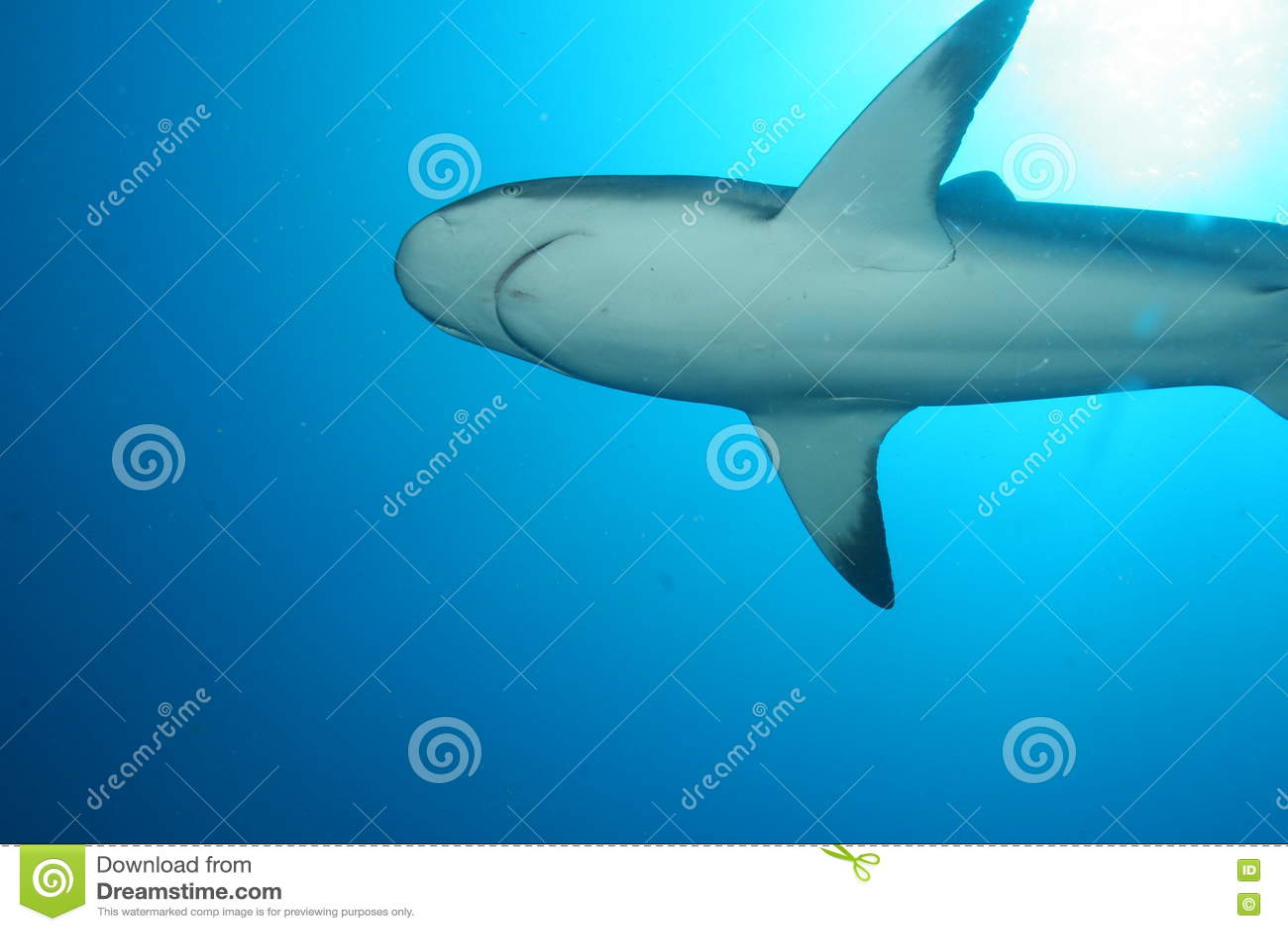 Squalo bianco subacqueo
