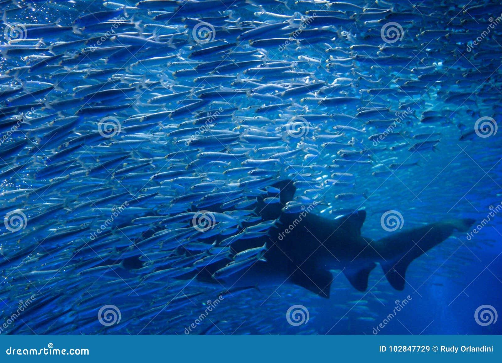 Squalo con molti pesci in acquario