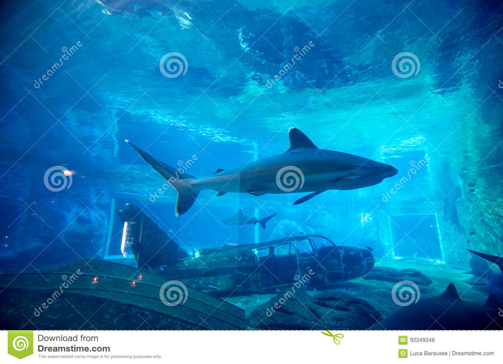Squalo del filatore in acquario