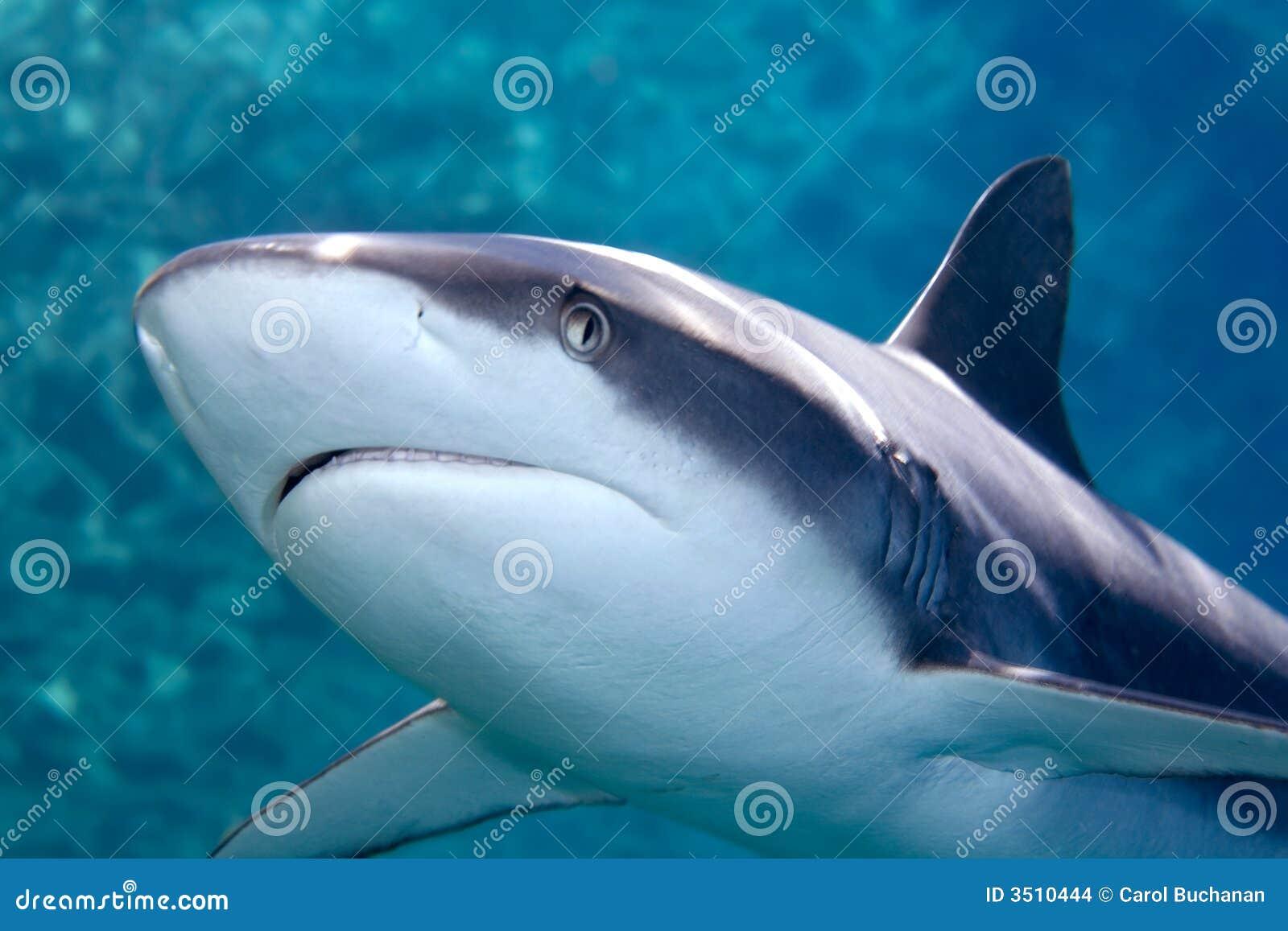Squalo grigio del whaler