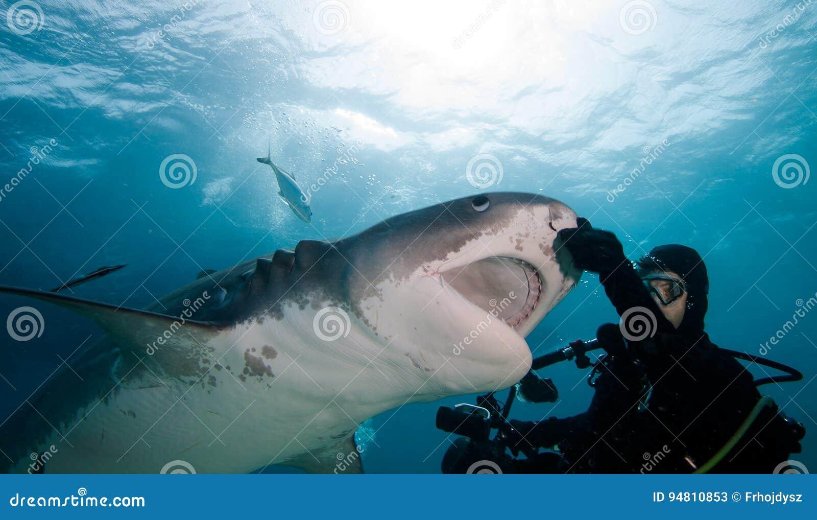 Squalo tigre ed operatore subacqueo