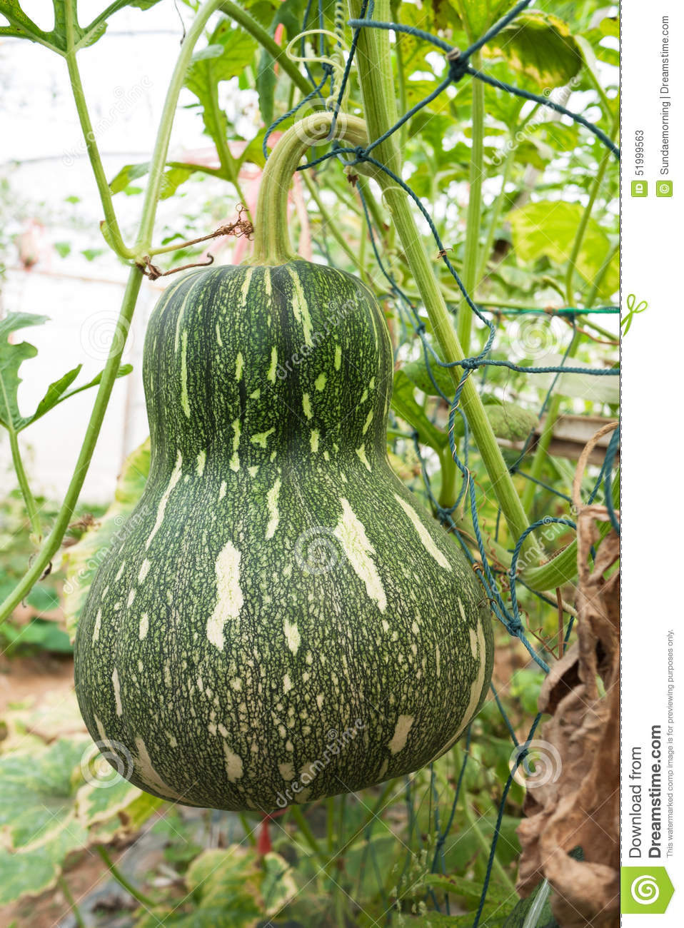 Squash Crop In Fruiting Stage Stock Image