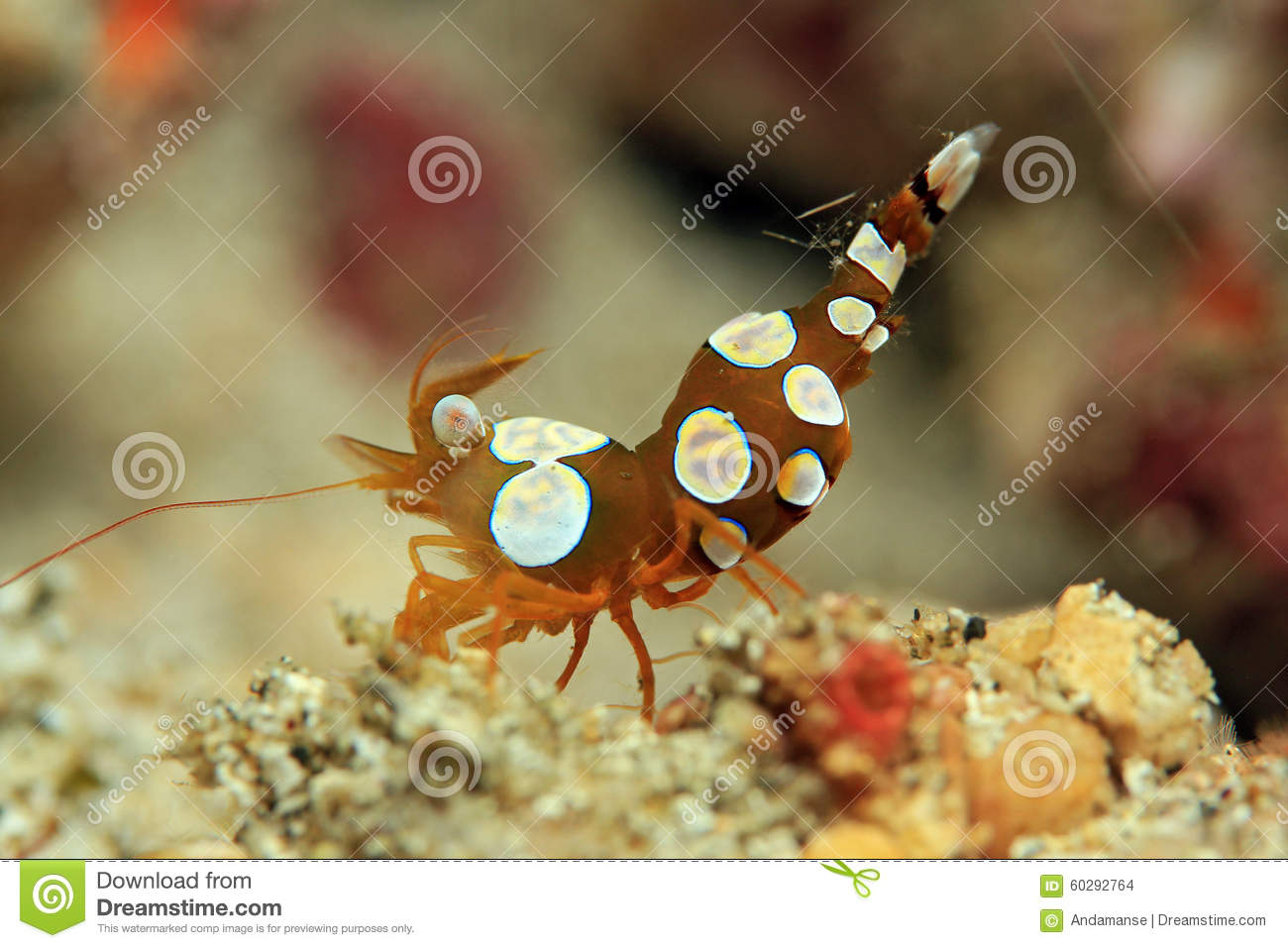 Squat Shrimp