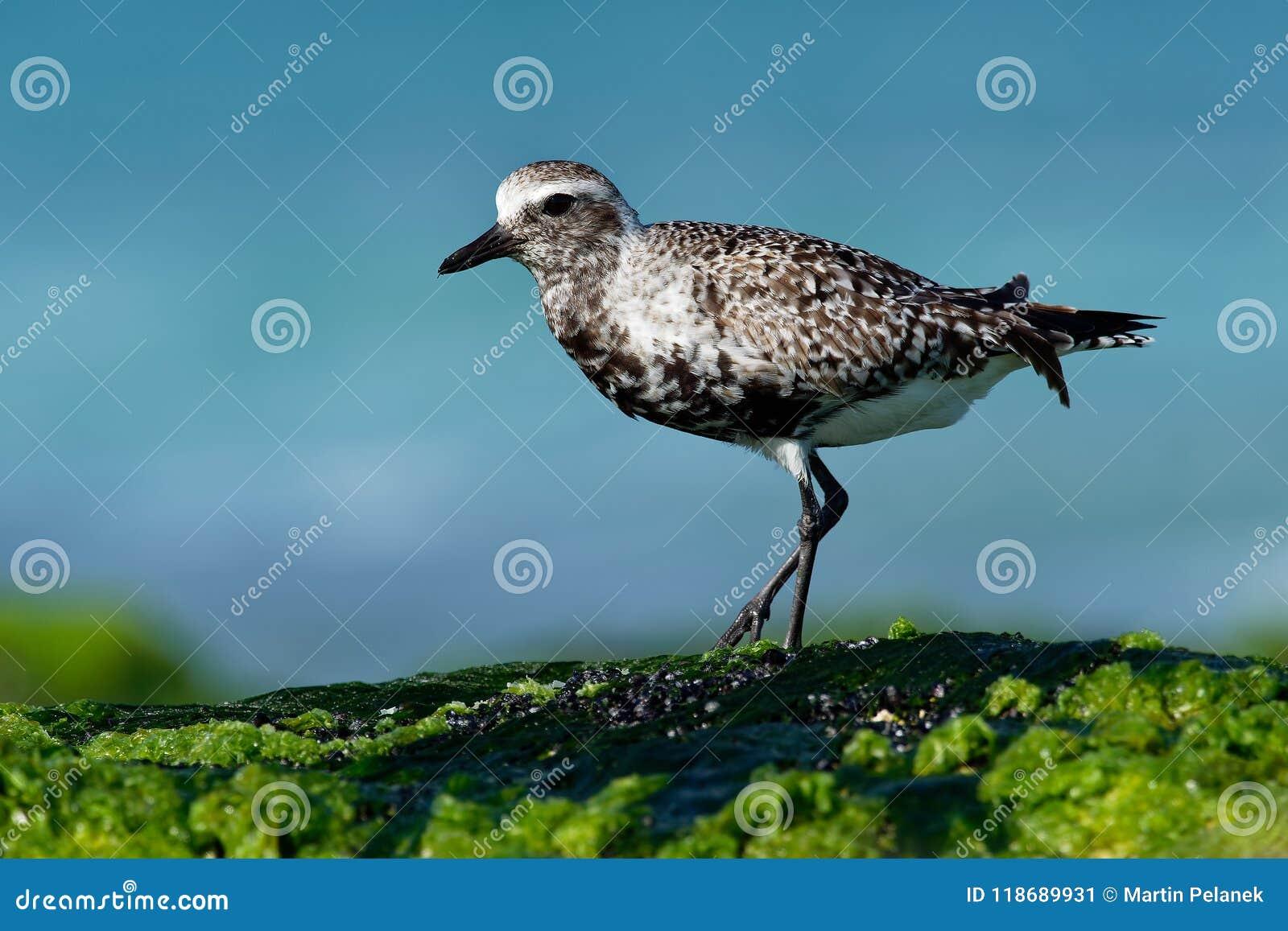 Squatarola del Pluvialis - Grey Plover sulla spiaggia