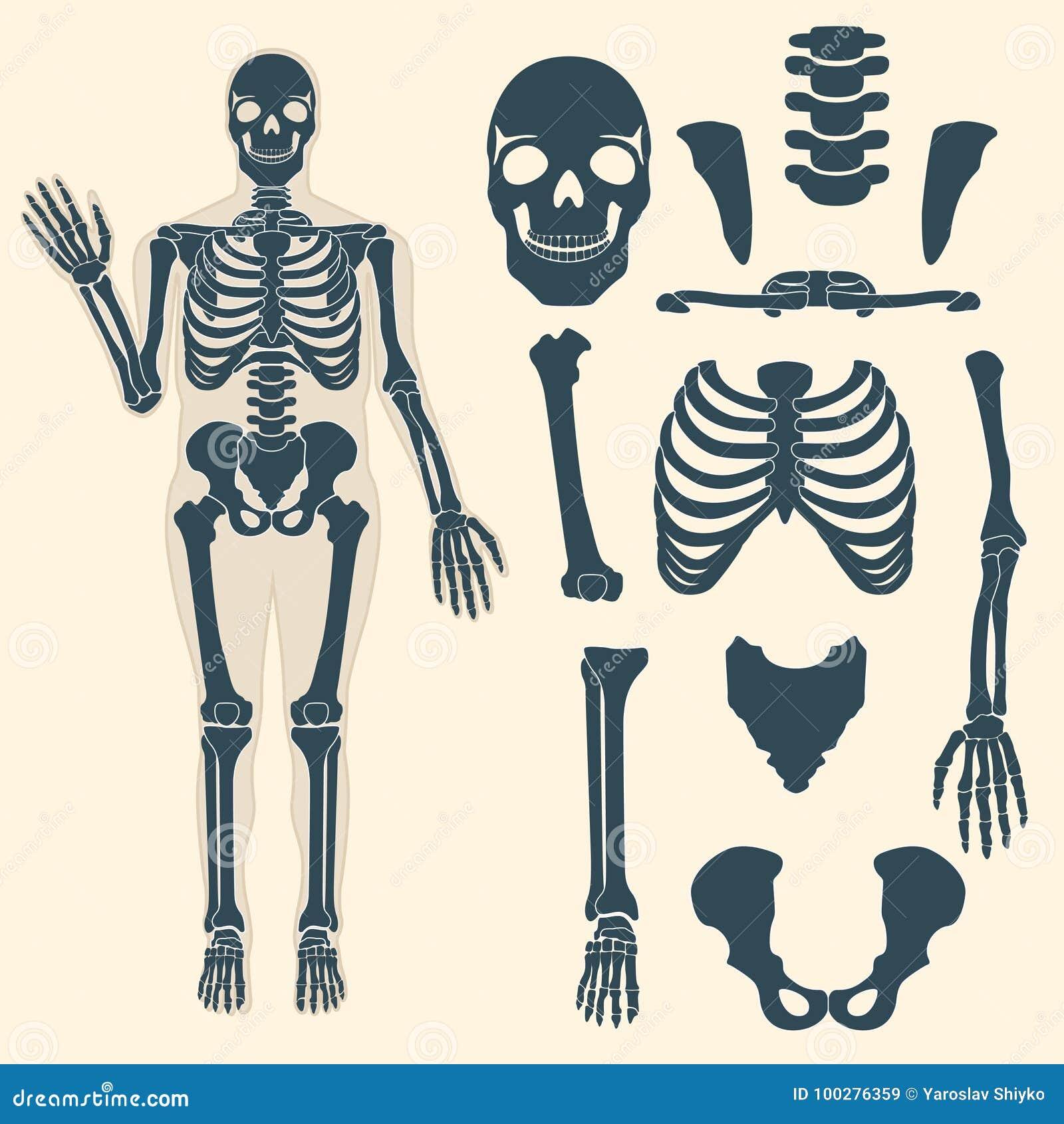 Squelette humain avec différentes pièces Anatomie de corps humain, poignet et thorax, coffre, doigt et crâne, mâchoire et bassin