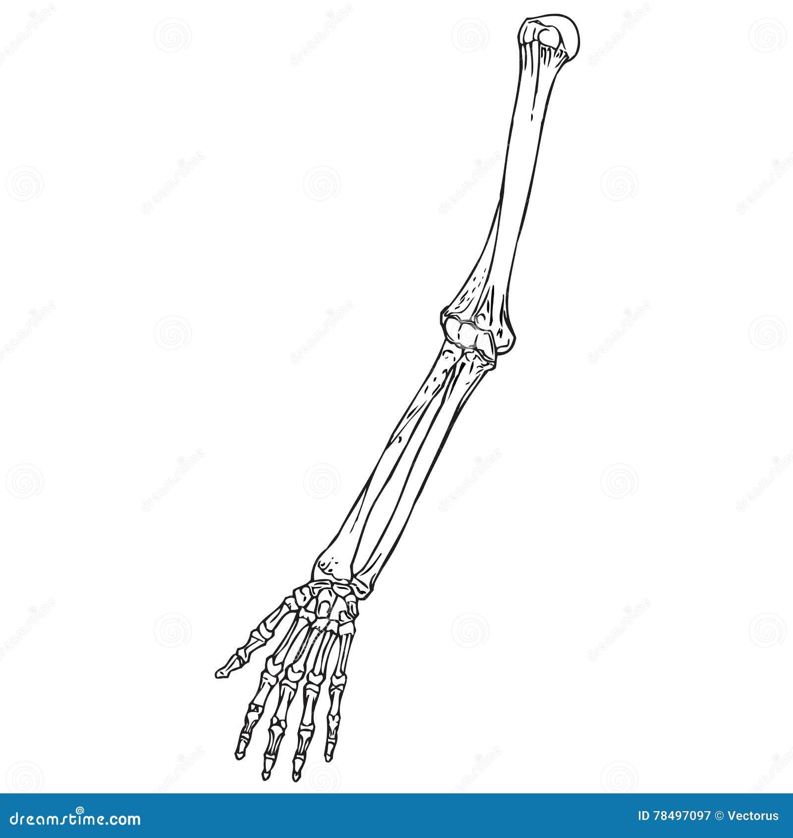 squelette humain d 39 avant bras illustration de vecteur. Black Bedroom Furniture Sets. Home Design Ideas