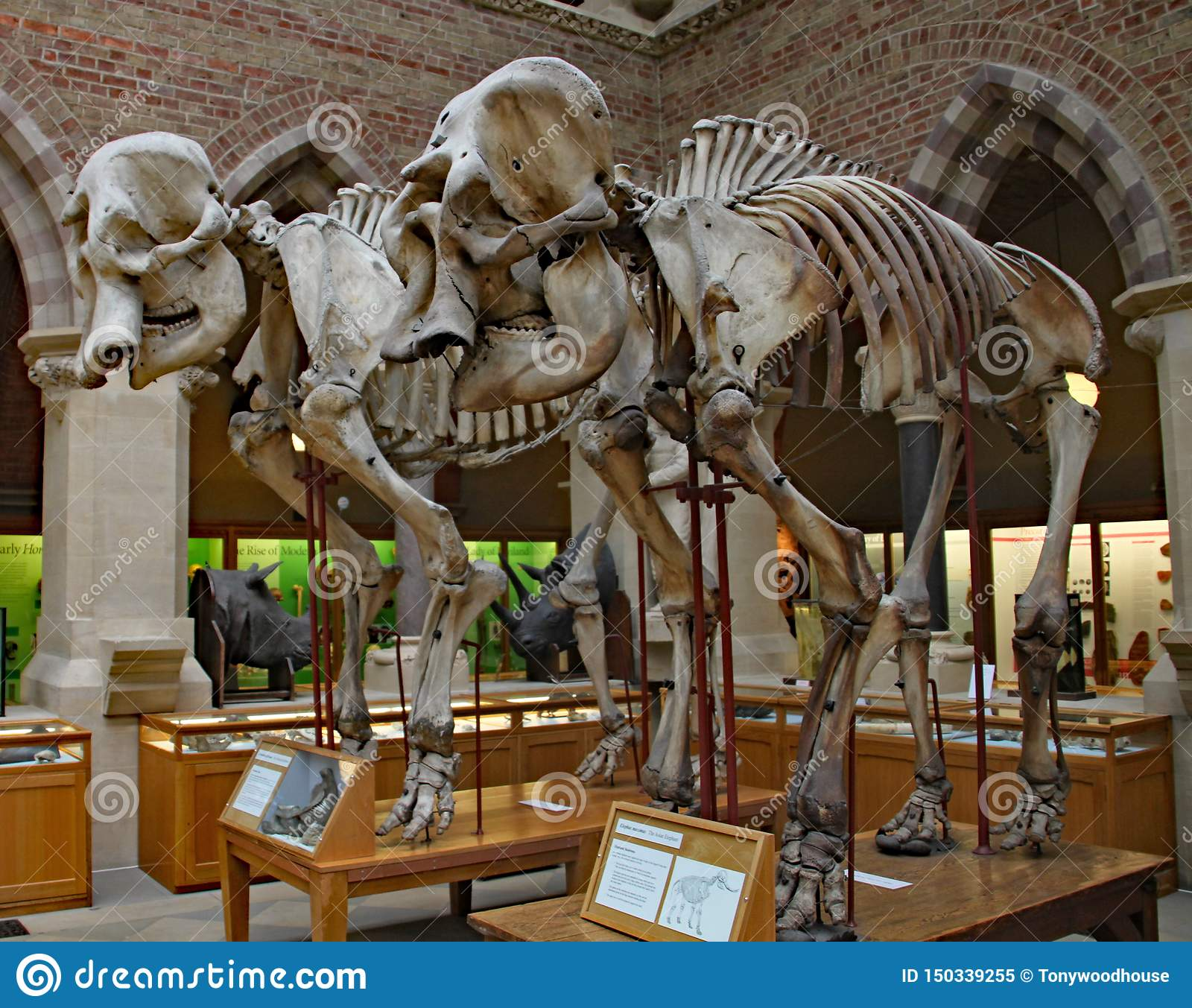 Squelettes de deux éléphants antiques au musée d histoire naturelle d Oxford