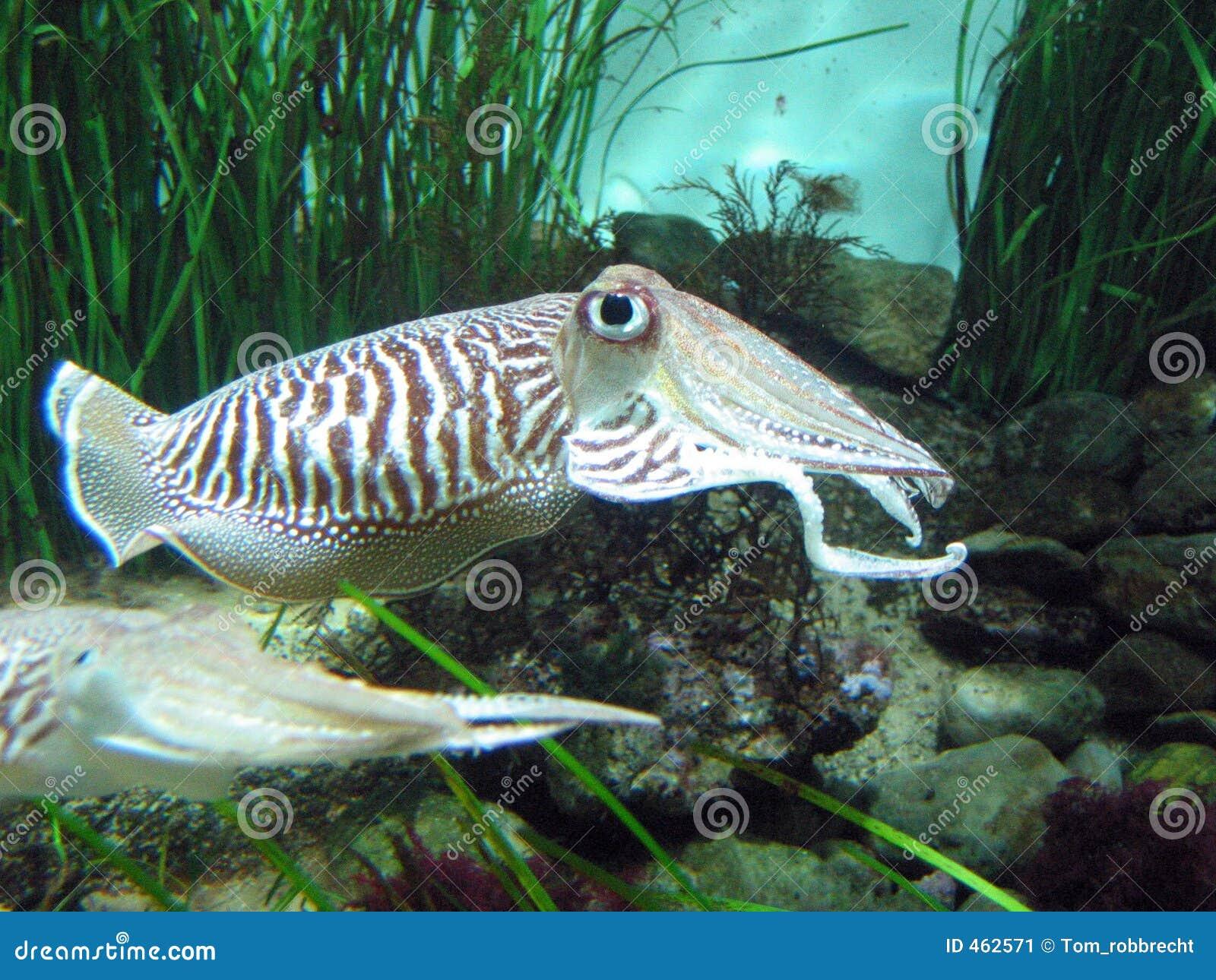 Download Squid stock image. Image of mollusk, fishing, nature, aquarium - 462571