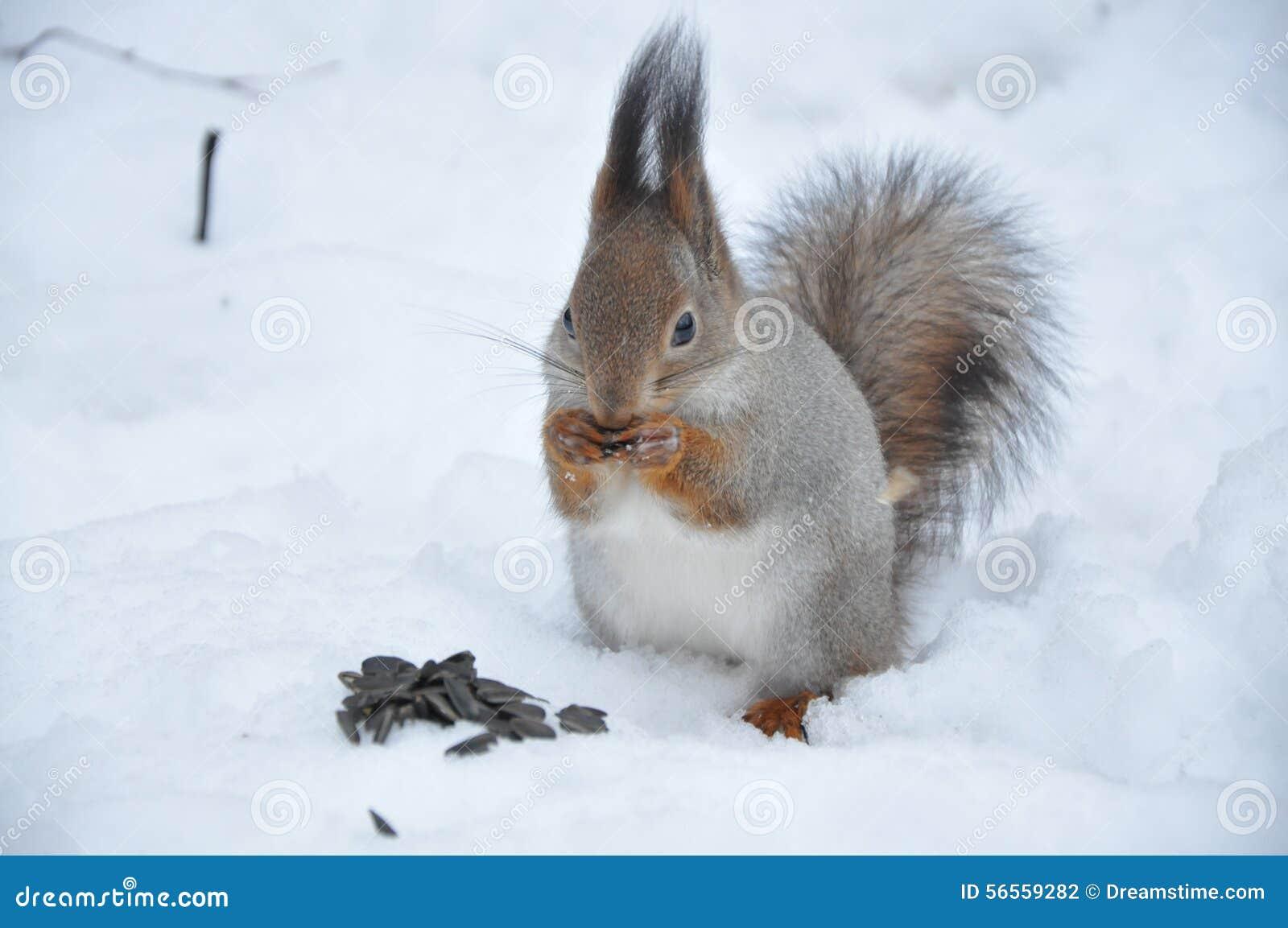 Download Squirell στοκ εικόνες. εικόνα από ντόπιος, φυσικός, είδη - 56559282