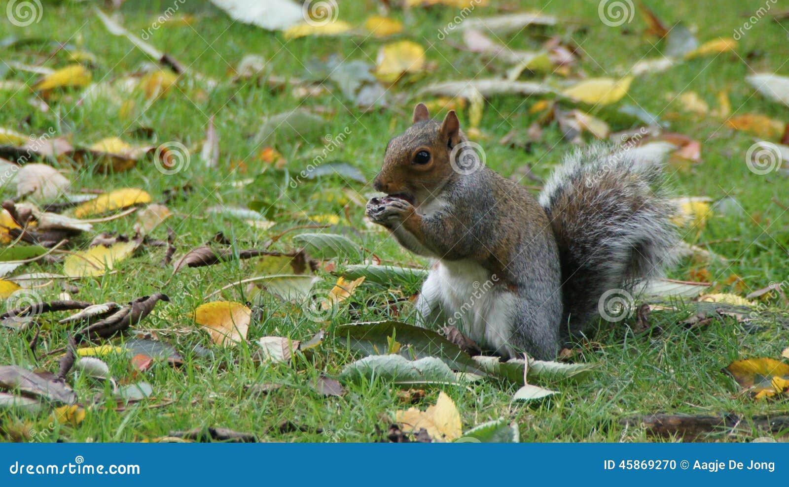 Squirrel comer a castanha no parque de Greenwich perto de Londres
