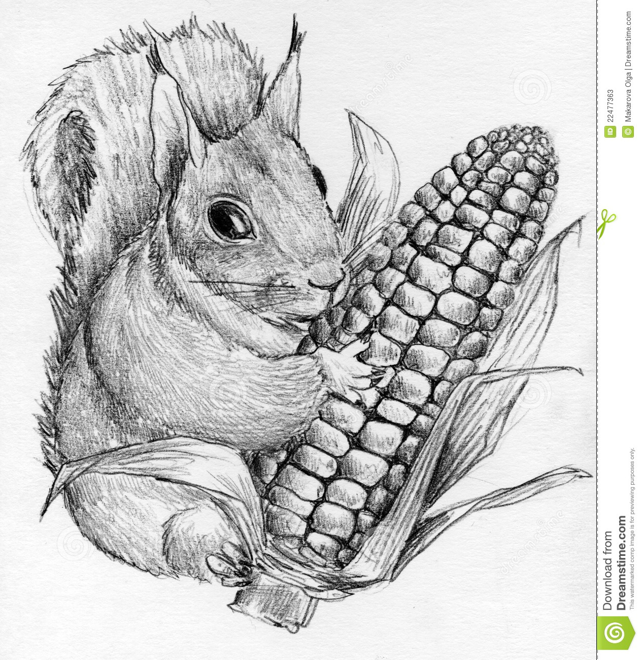 squirrel with corncob stock illustration image of mammal