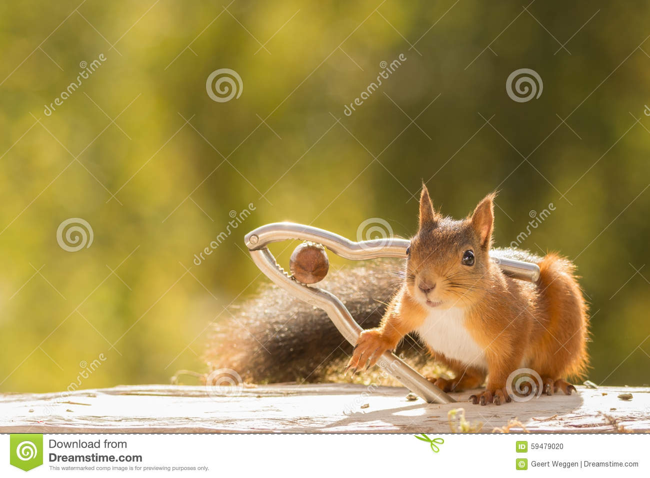 Squirrel cracker stock photo image 59479020 - Squirrel nut crackers ...