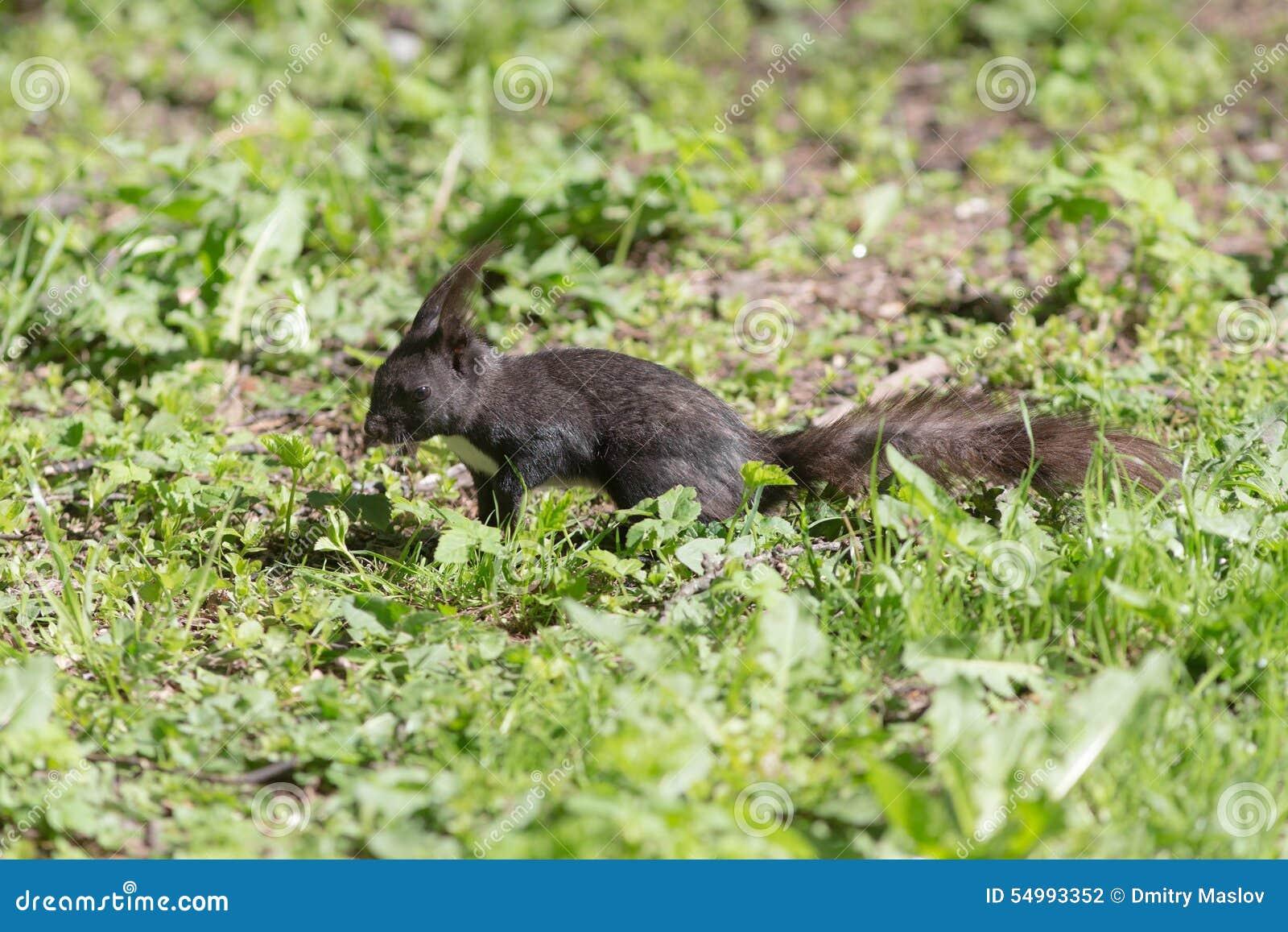 Squirrel with dark fur