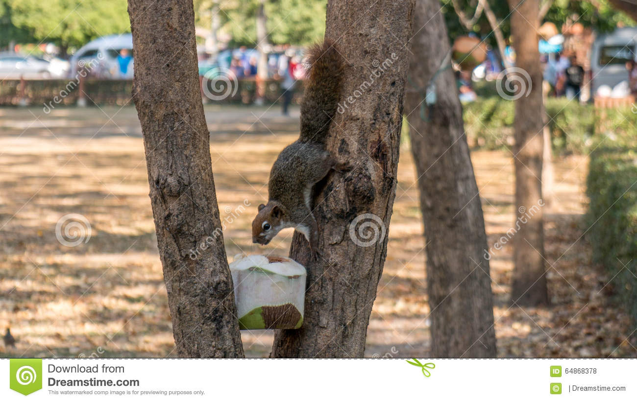 Squirrel drinks from a coconut in a tree