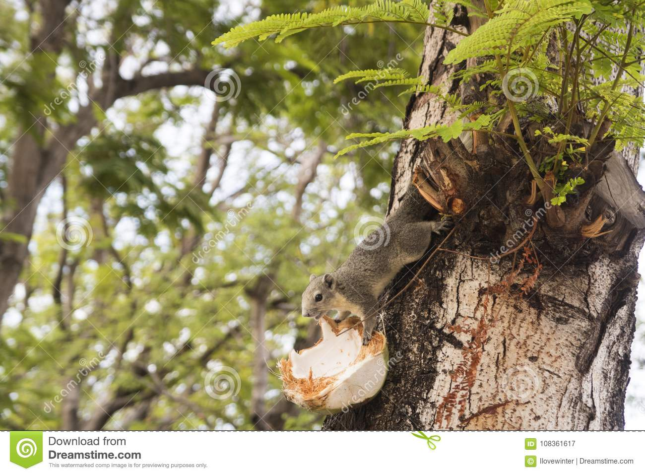 Squirrel eating coconut on tree.