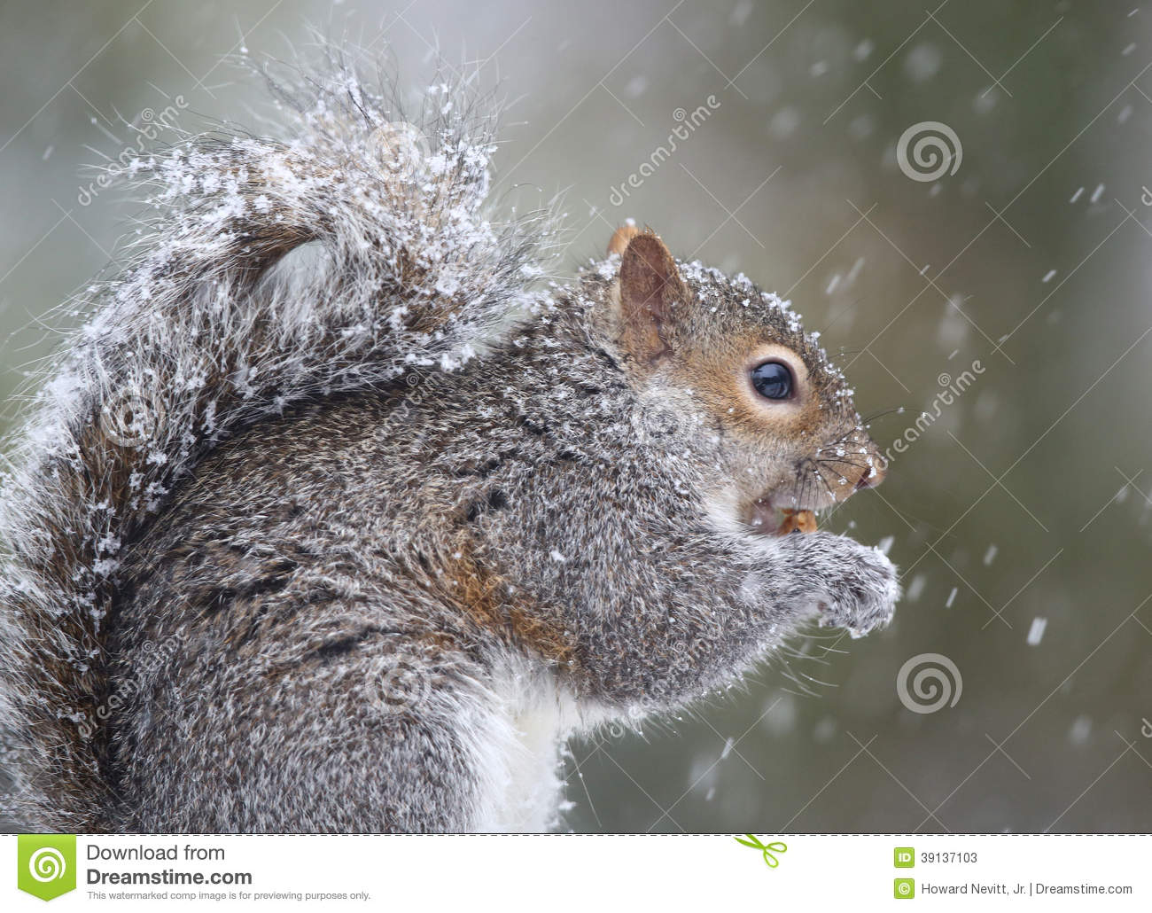 Squirrel eating in snow