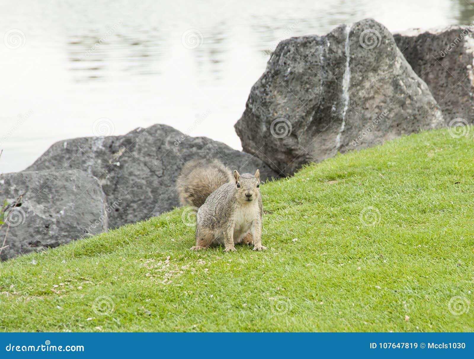 Squirrel On Idaho Falls Greenbelt Stock Image - Image of
