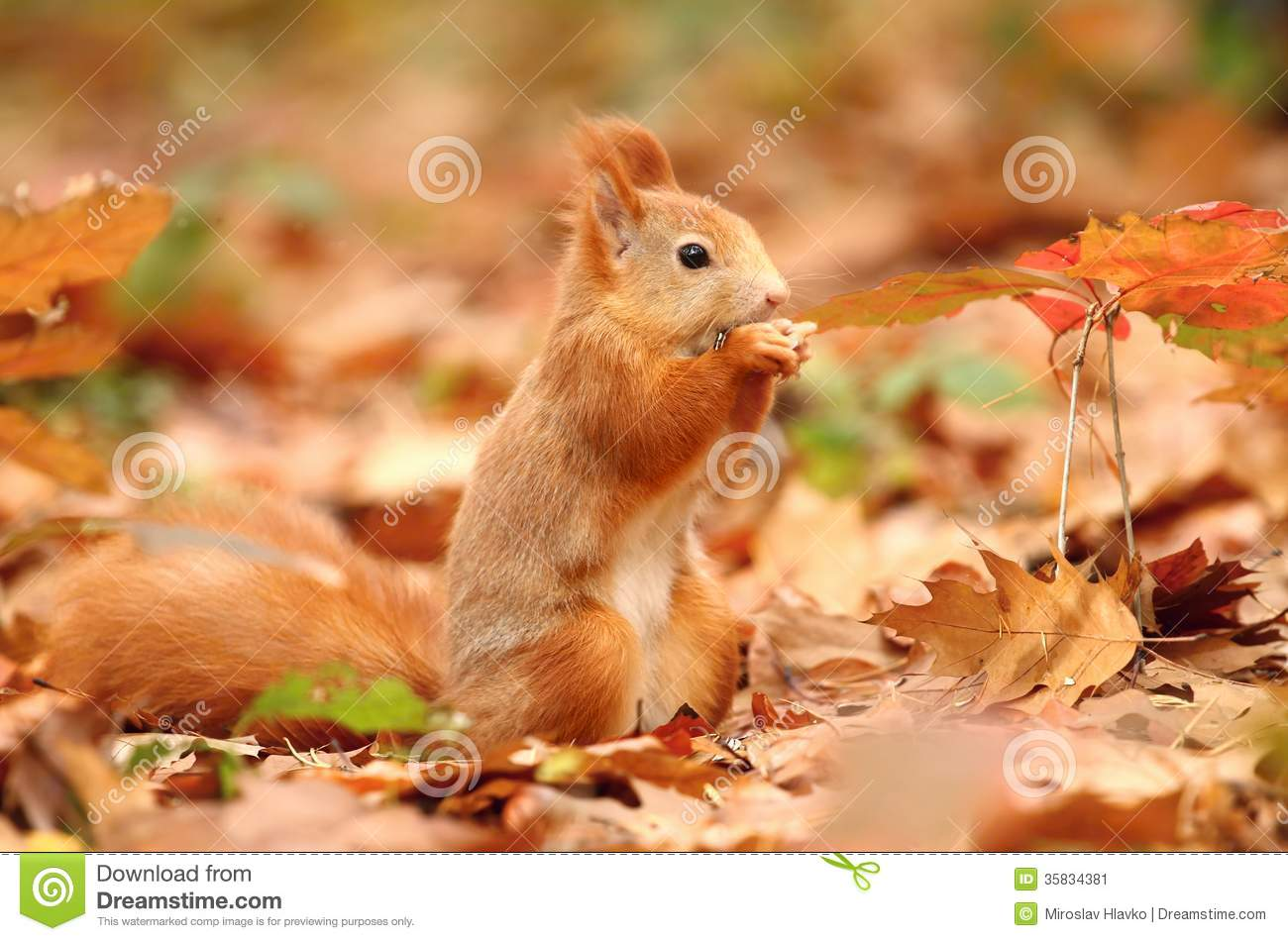 squirrel in leaves stock image image of cute wild