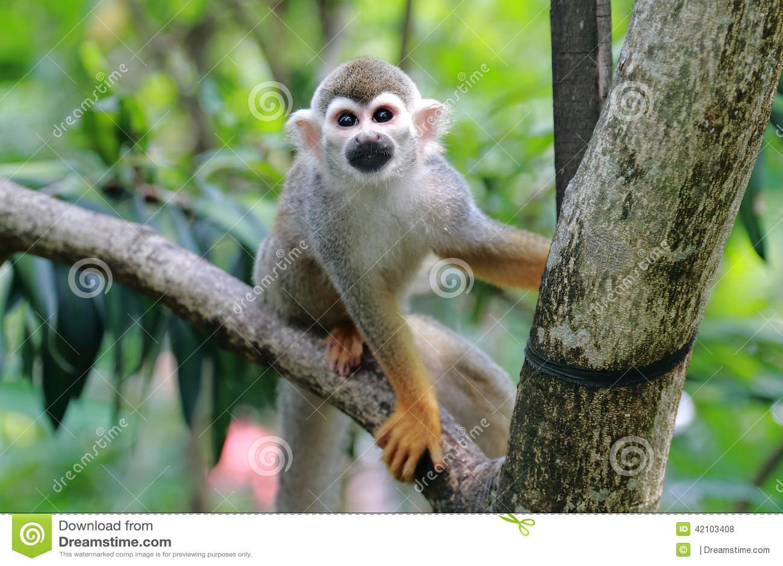 Squirrel monkeys in trees - photo#46