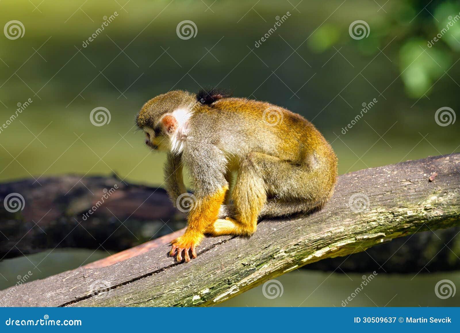 Squirrel monkeys in trees - photo#30