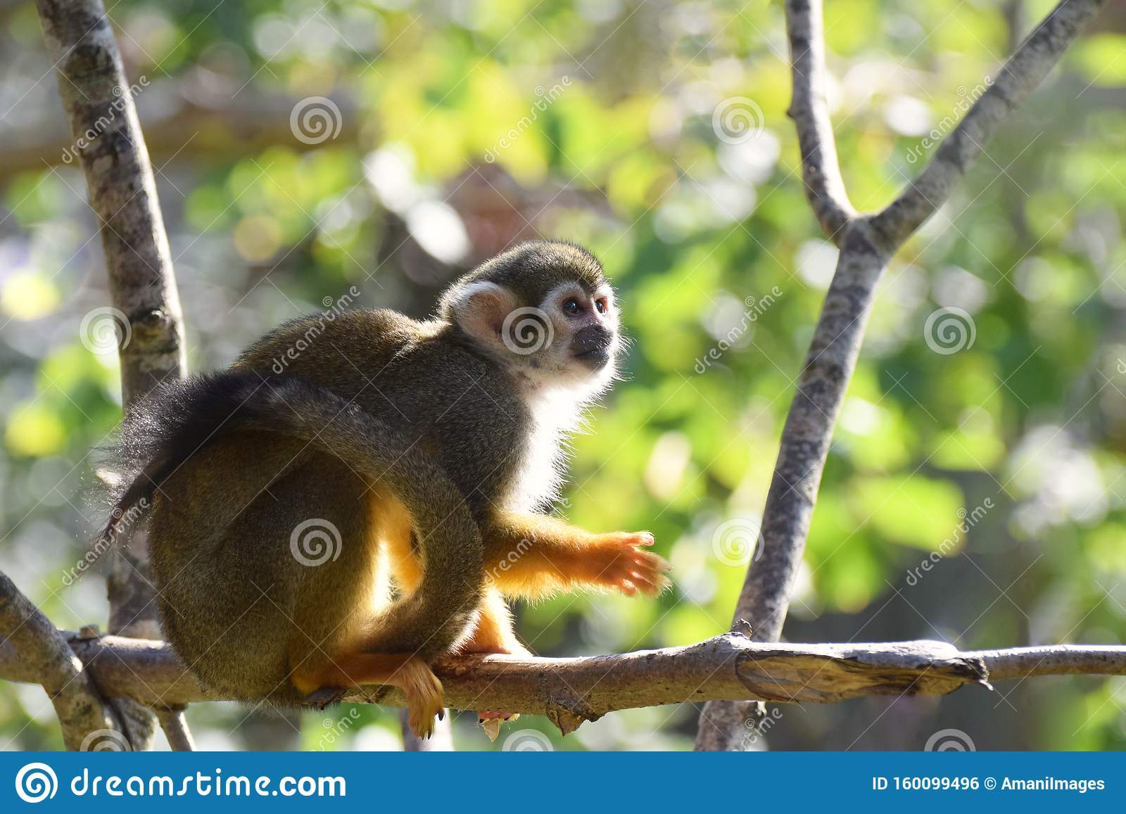 Squirrel monkey sitting on a tree branch in a leafy natural forest