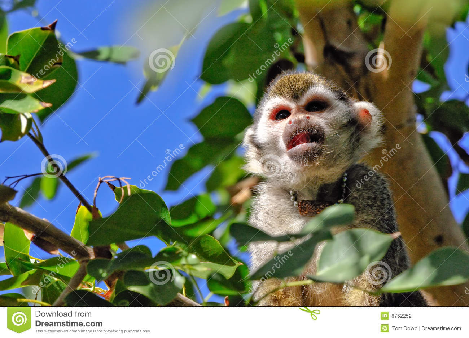 Squirrel monkeys in trees - photo#25