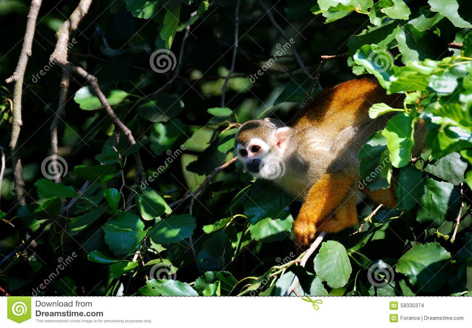 Squirrel monkeys in trees - photo#17