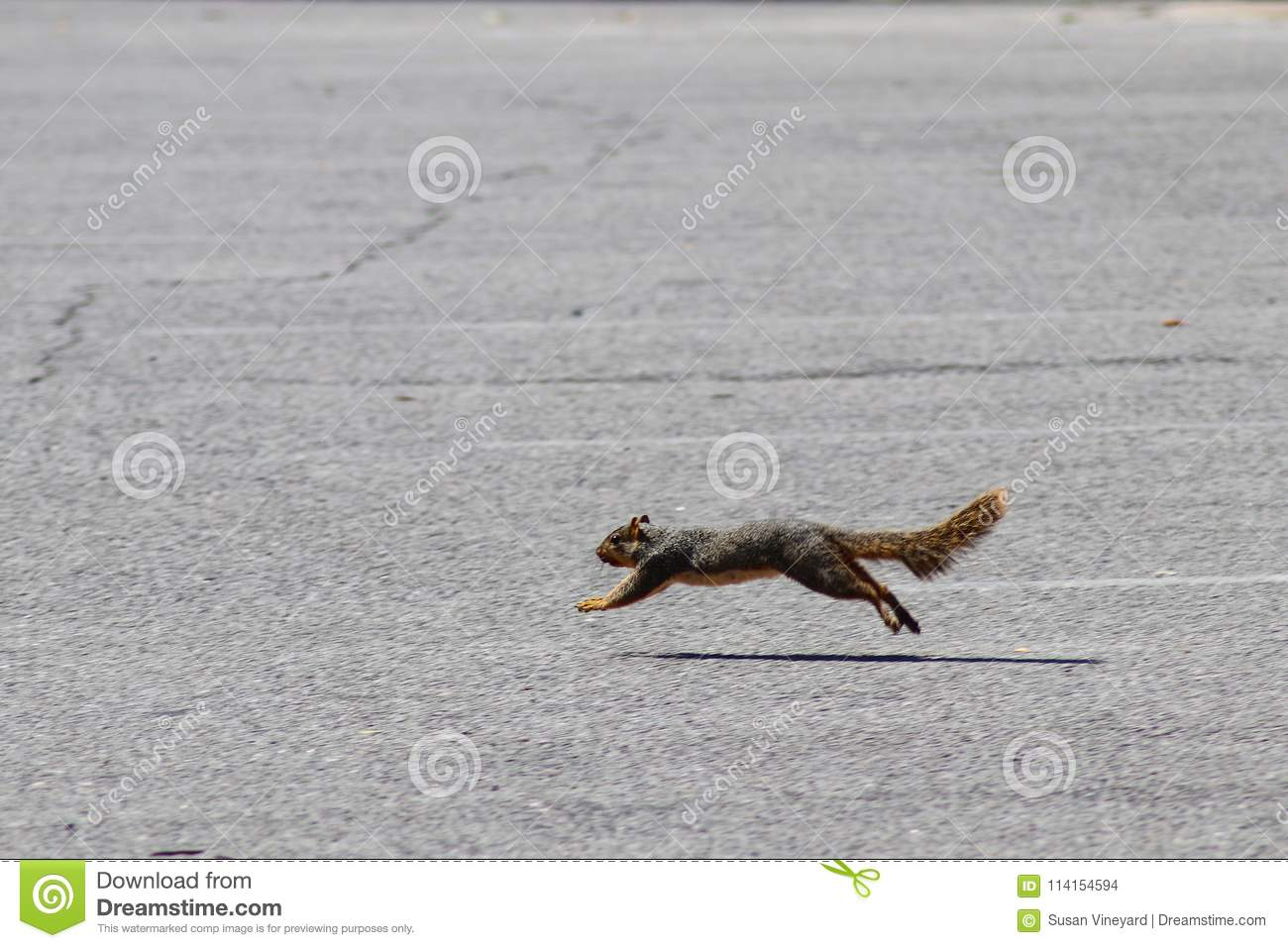 Squirrel on the move - running and caught in a jump off the ground