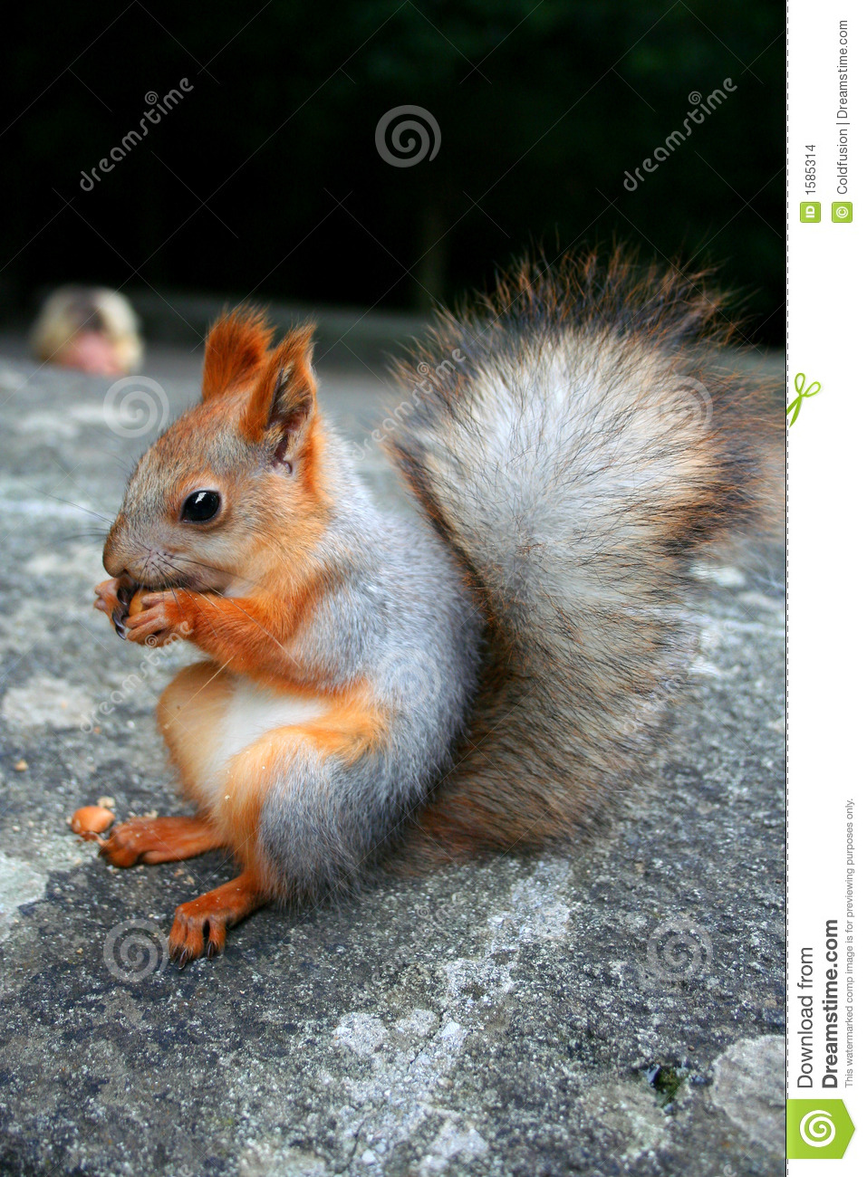 Squirrel Nutcracker Stock Images Image 1585314