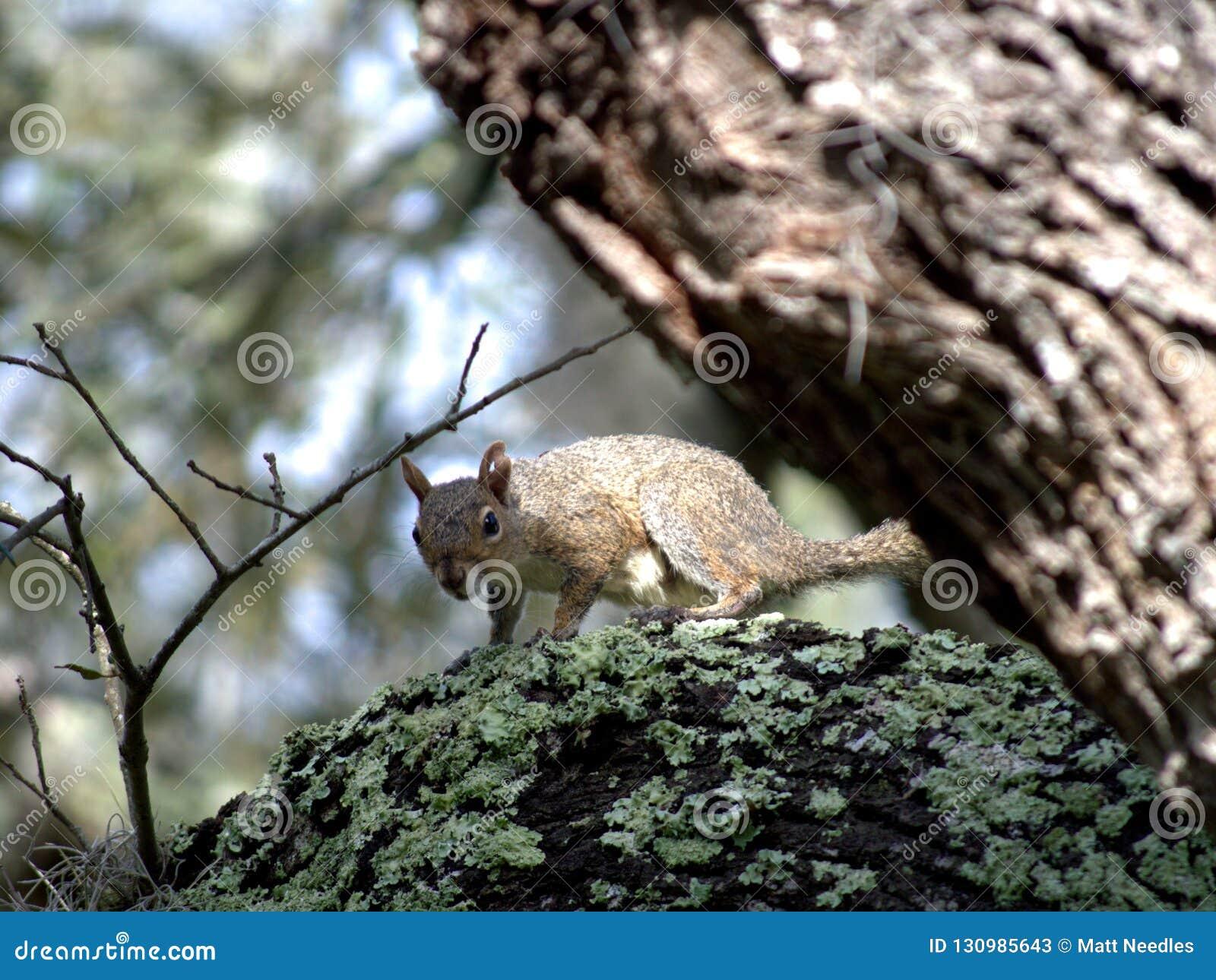 Squirrel in Oak Tree
