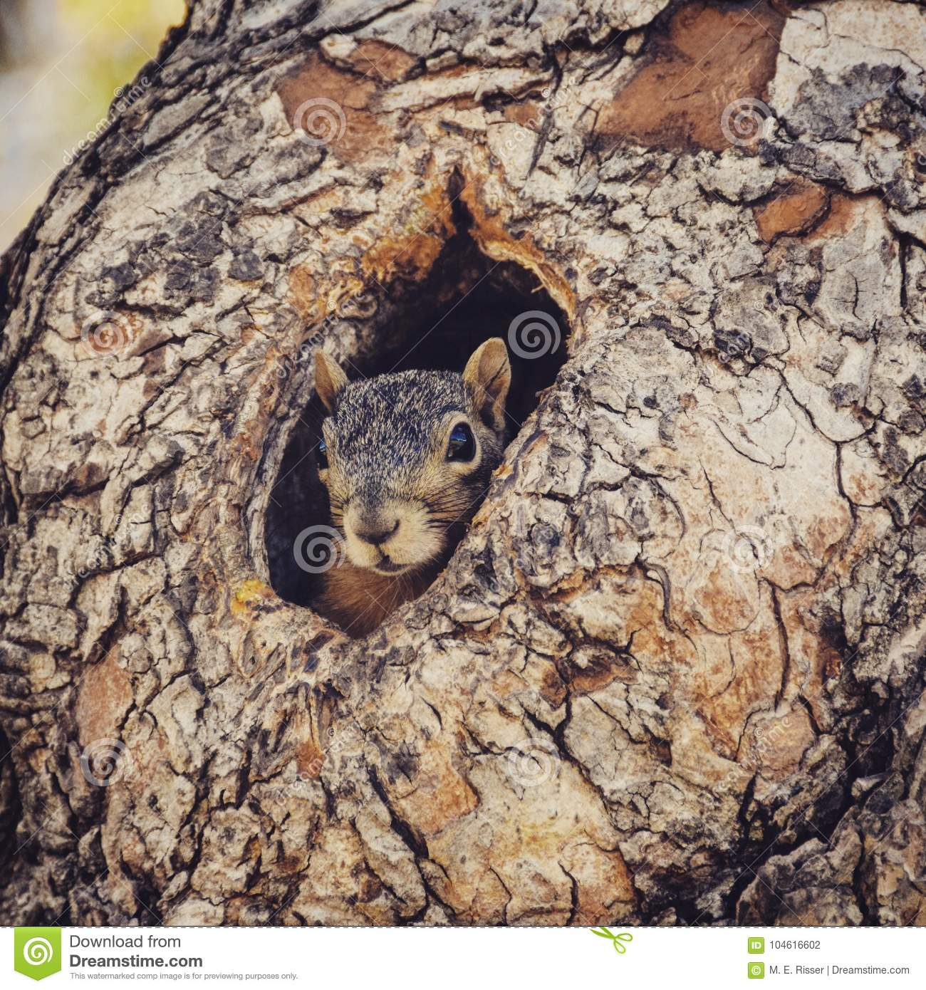 Squirrel Peeking out of a Tree Hole.