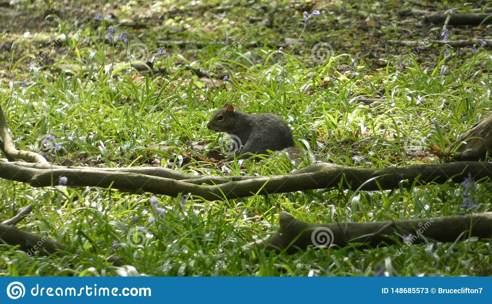 Squirrel Resting in Bluebells on a beautiful Spring Day