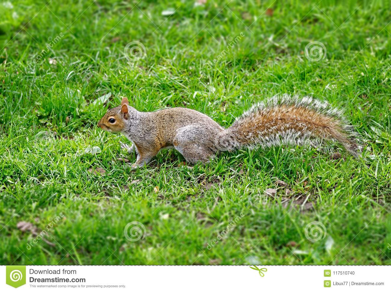 Squirrel side view on the grass central park New York City Usa