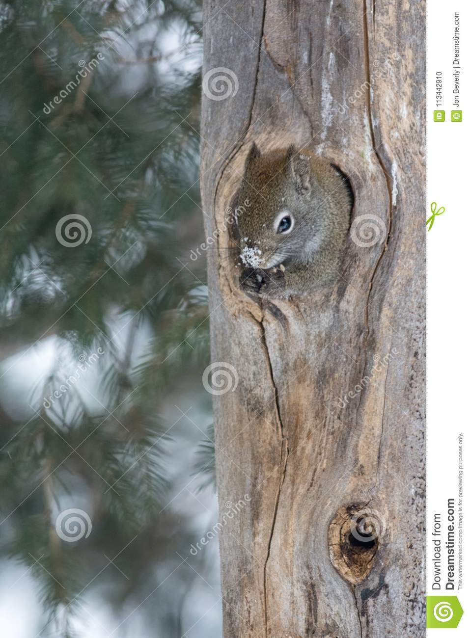 Squirrel with snowy nose sticking out of hole in tree trunk