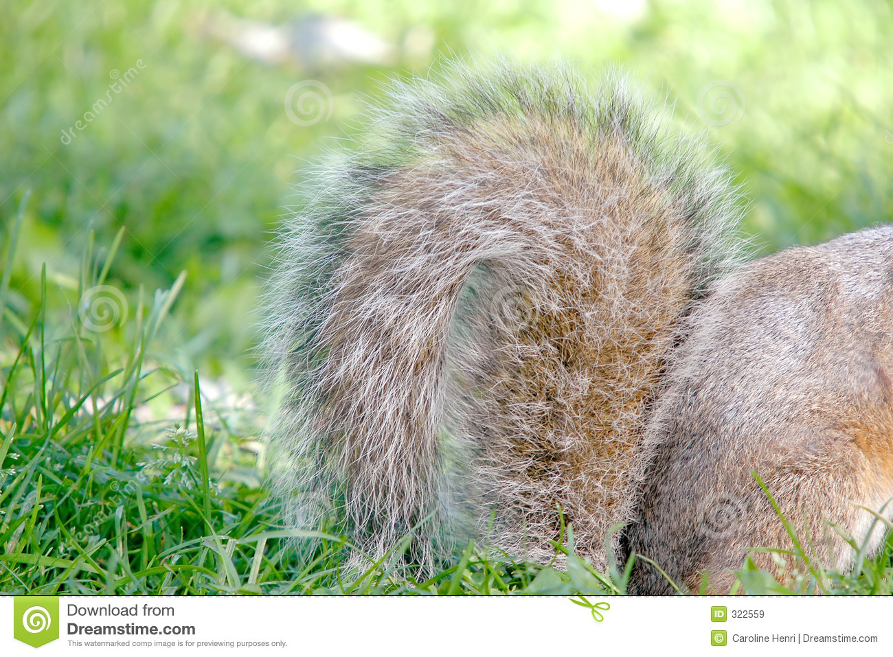 Squirrel Tail Royalty Free Stock Images - Image: 322559
