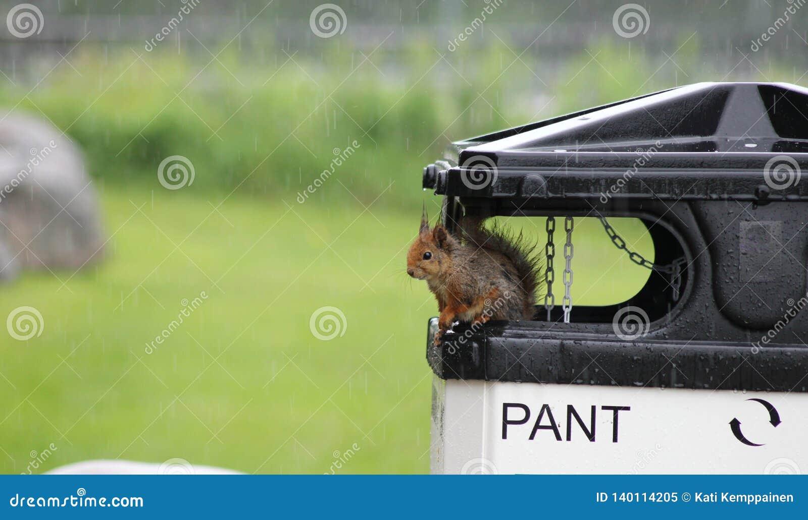 Squirrel in rain