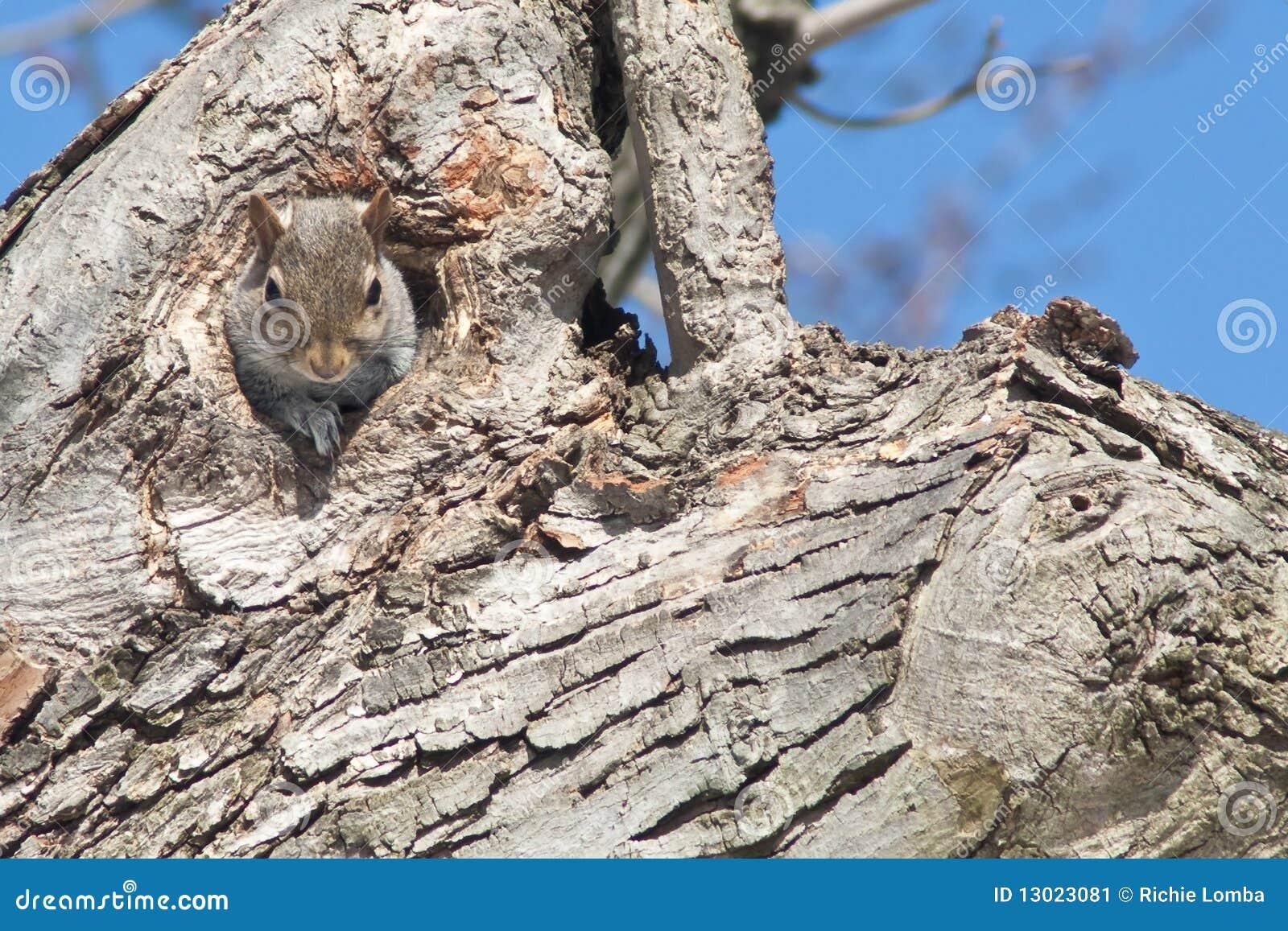 Grey squirrel in tree trunk