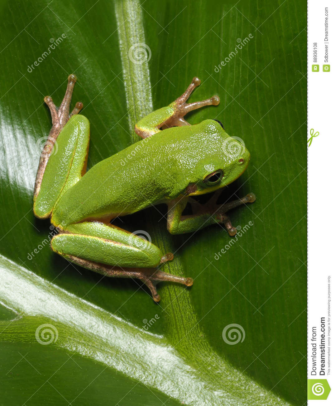 Squirrel Tree Frog On Cut Leaf Philadendrum Stock Photo