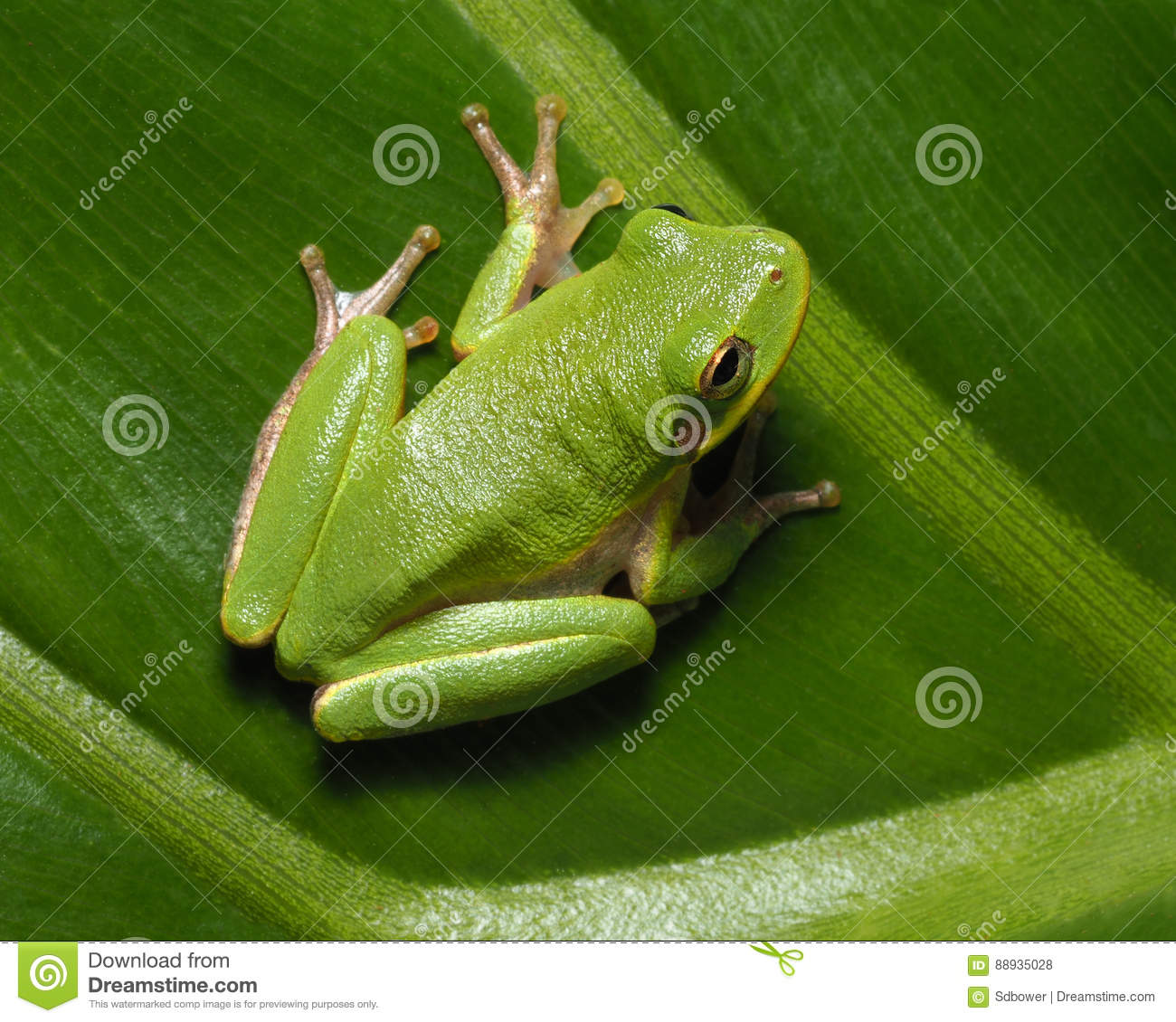 Squirrel Tree Frog On Green Tropical Plan Stock Photo