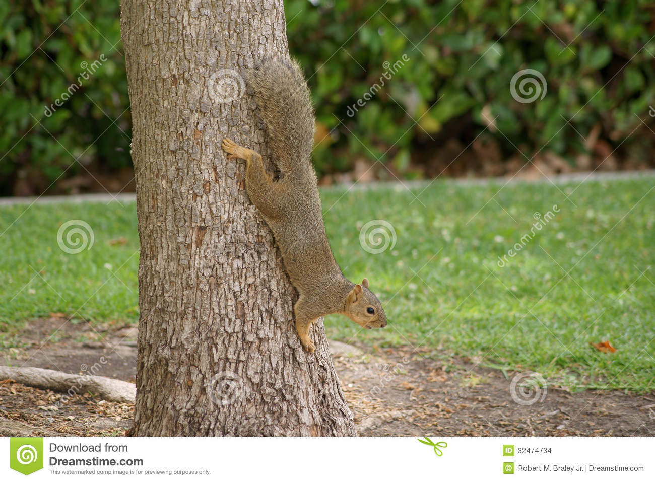 squirrel on tree trunk stock photo image of wildlife
