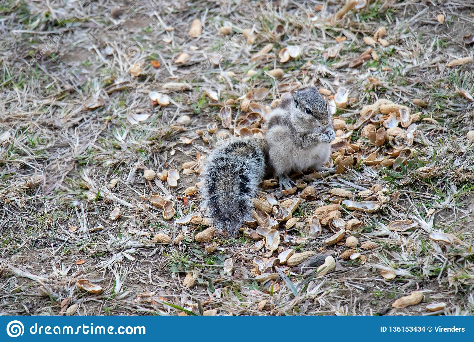 Squirrels eating peanuts outside
