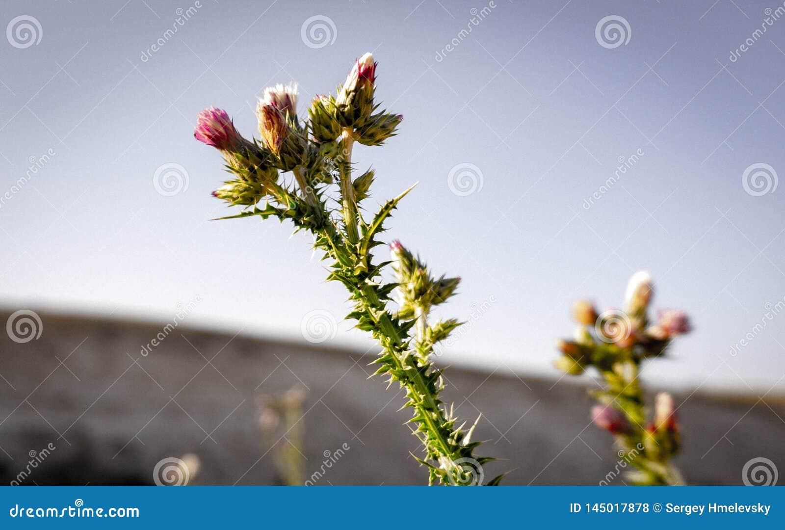 Srebny osetu kwitnienie w pustyni
