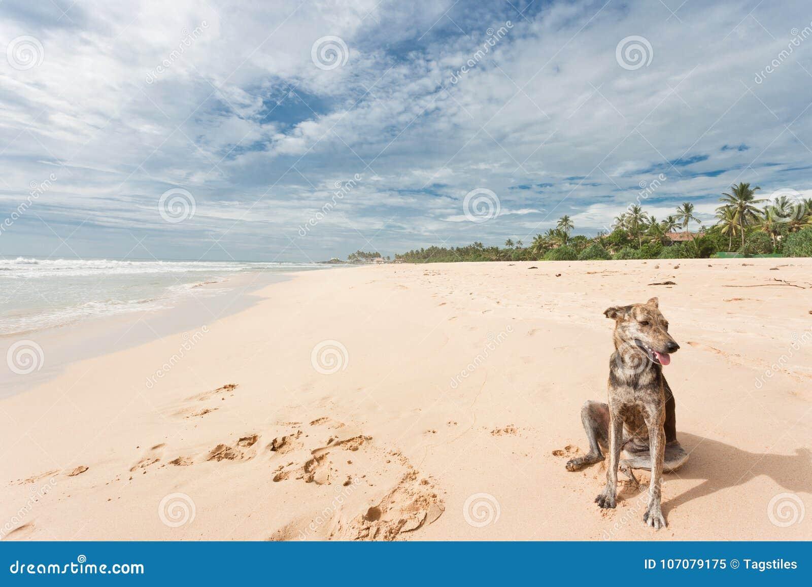 Download Sri Lanka - Ahungalla - Ein Wilder Hund, Der Im Sand Sitzt Stockbild - Bild von nave, wunderbar: 107079175